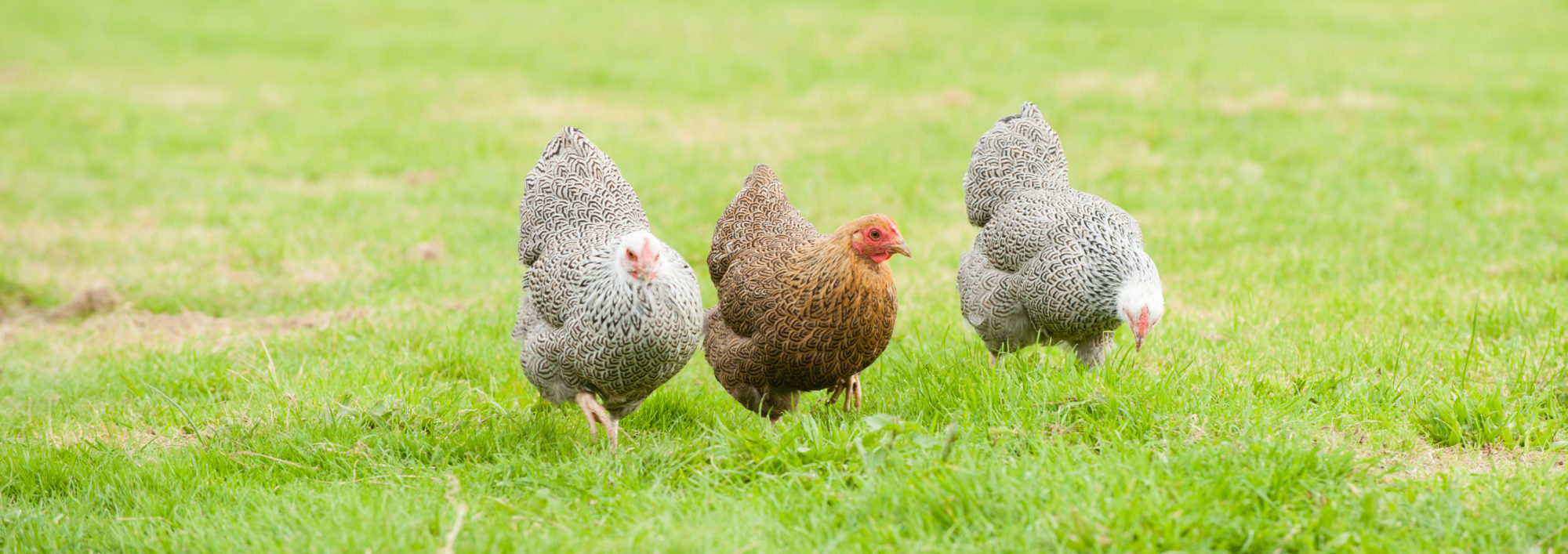The Pure Breed Poultry Company